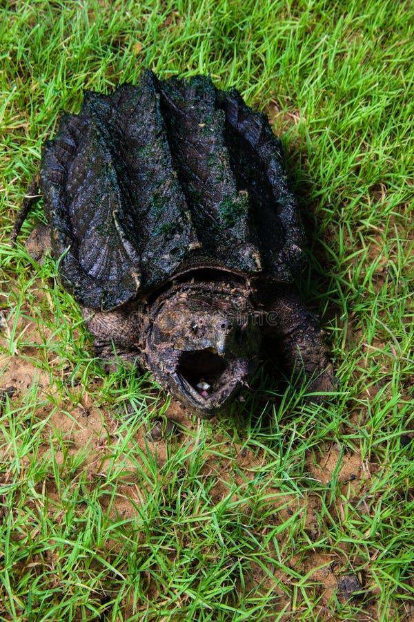 Aligatora chapnąć żółw zdjęcie stock