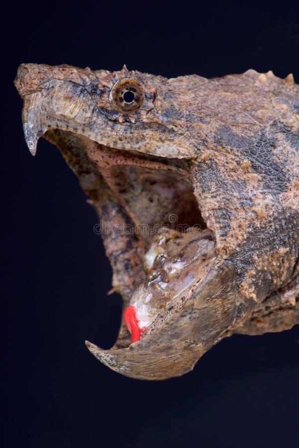 Aligatora chapnąć żółw, Macrochelys temminckii/ zdjęcia royalty free