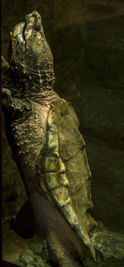 Aligatora chapnąć żółw (Macrochelys temminckii) obrazy stock
