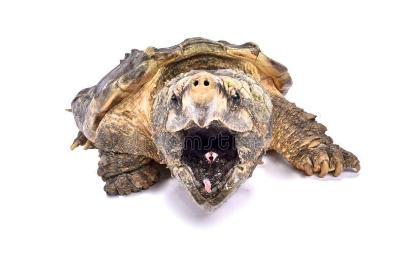 Aligatora chapnąć żółw, Macrochelys temminckii zdjęcia royalty free
