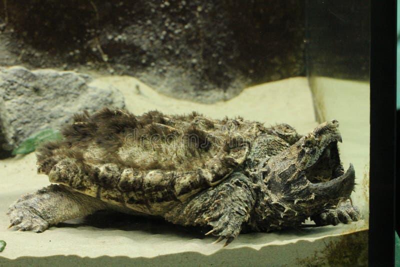 Aligatora chapnąć żółwia Macrochelys temminckii przy zoo zdjęcie stock