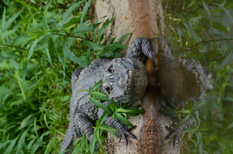 aligatora chińczyk zdjęcia royalty free