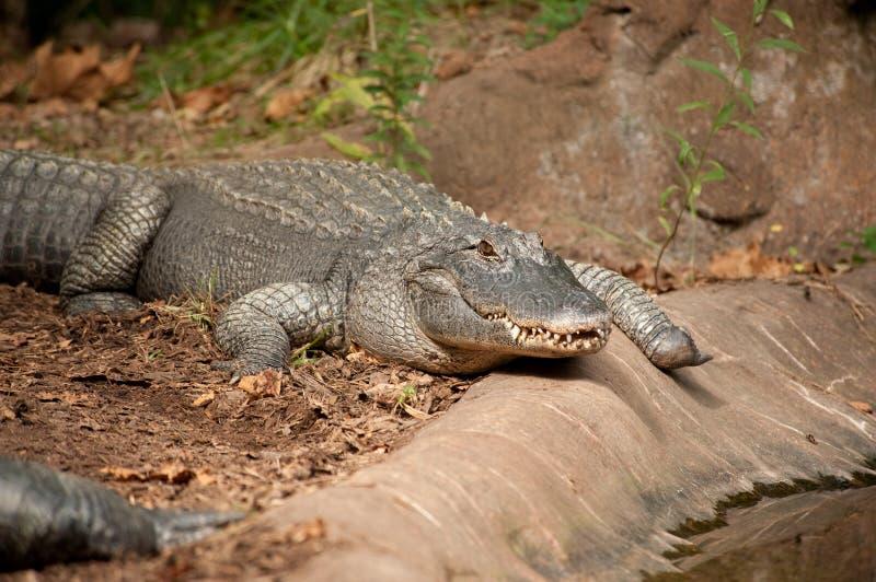 aligatora czołgania staw obrazy royalty free