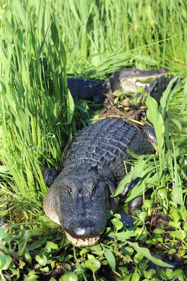 Aligatora Luizjana bagna zalewisko zdjęcie stock