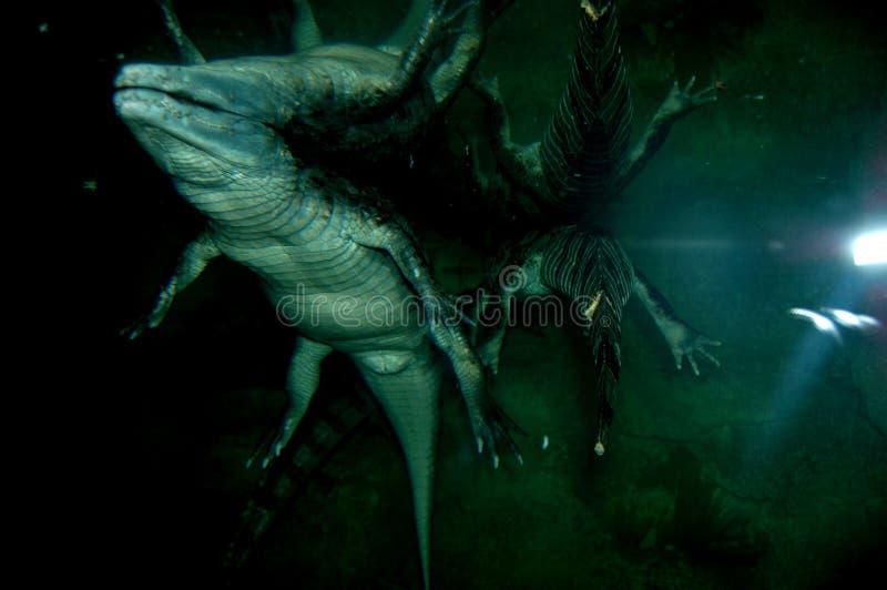 Aligatora przywabienie w wodzie obrazy royalty free