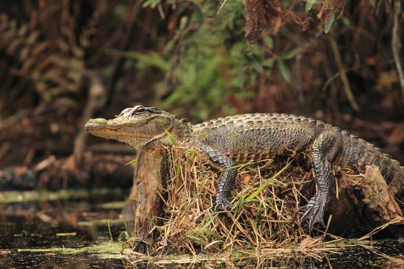 aligatora target431_0_ fiszorka drzewo fotografia stock