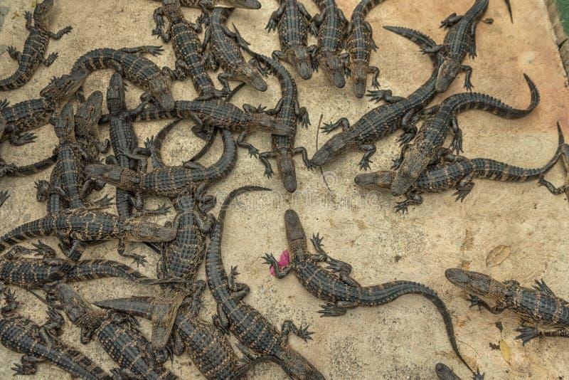 年轻Aligators在沼泽地鳄鱼农场 佛罗里达 库存照片