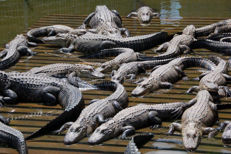 Aligators Sunning royalty free stock photo