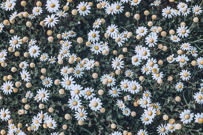 Aligere las flores de la margarita en día soleado fotos de archivo