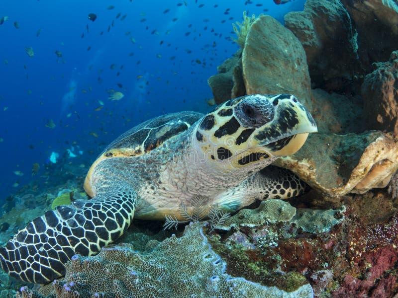 Alighted hawksbill sea turtle stock image
