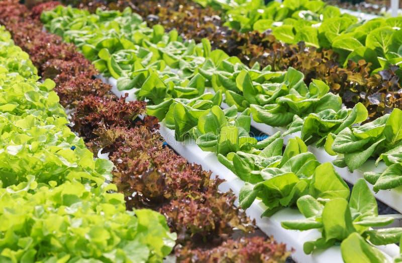 Aliment biologique végétal hydroponique de ferme photo libre de droits