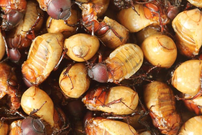 Aliment riche en protéines frit d'insectes images stock