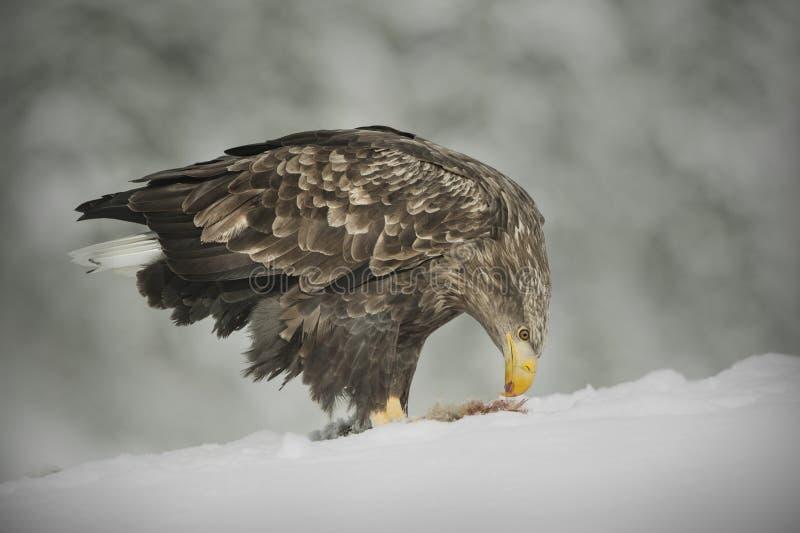 alimentação Branco-atada da águia foto de stock royalty free