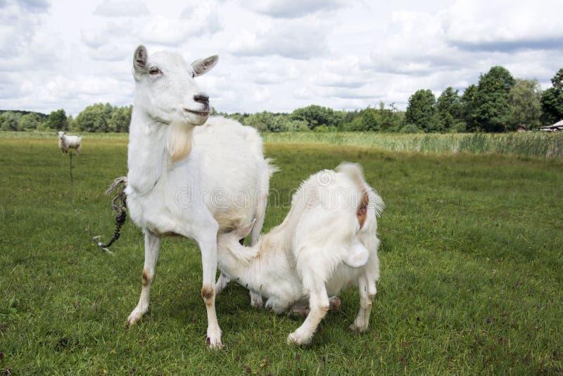 Alimentação brilhante da criança da cabra do dia ensolarado do verão fotografia de stock royalty free