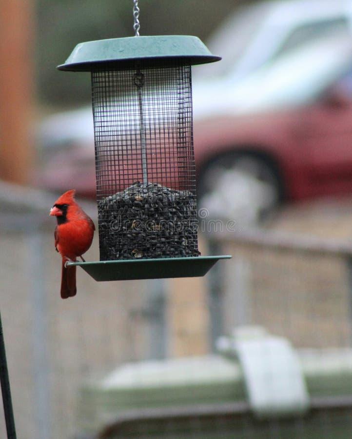 Alimentação cardinal masculina vermelha em sementes de girassol pretas do lubrificador foto de stock