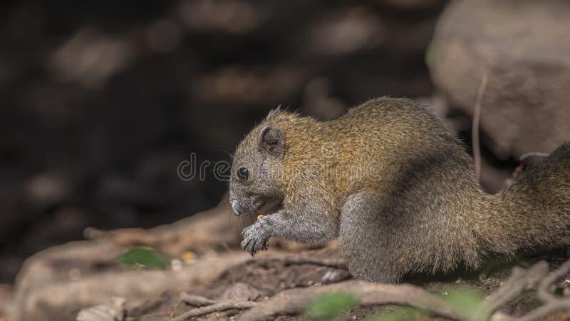 alimentação Cinzento-inchada do esquilo imagens de stock