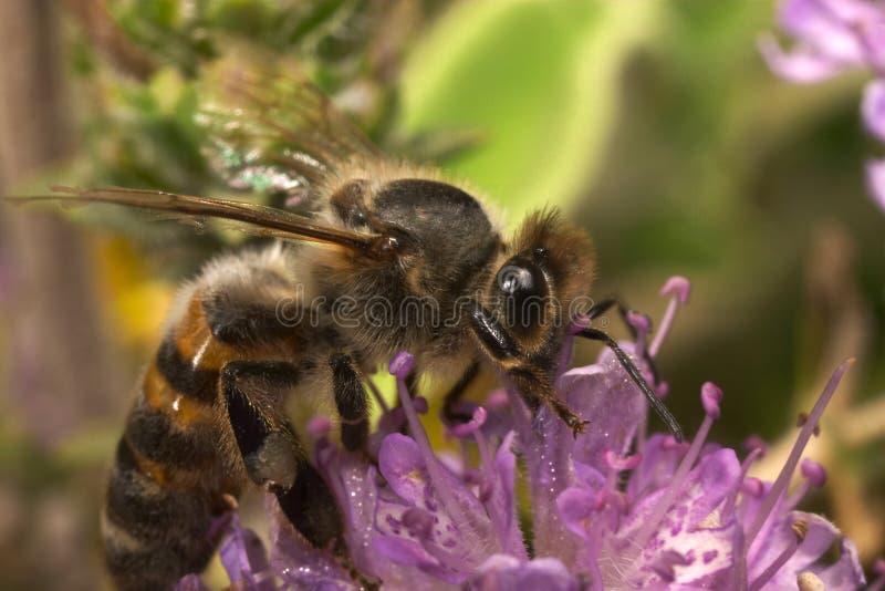 Alimentação da abelha fotografia de stock