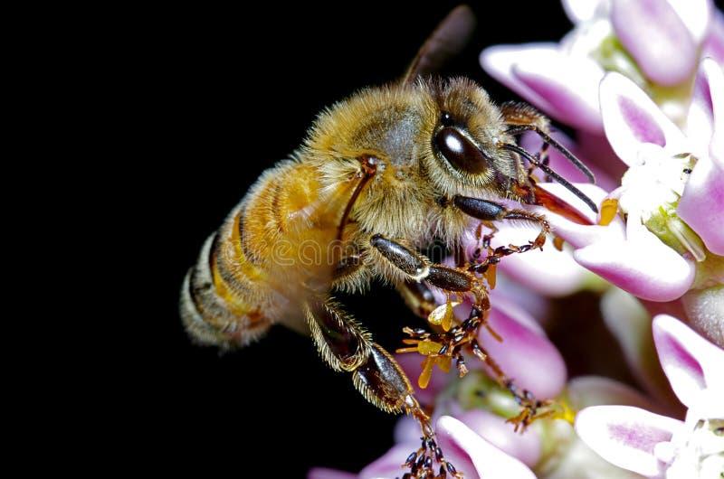 Alimentação da abelha imagem de stock