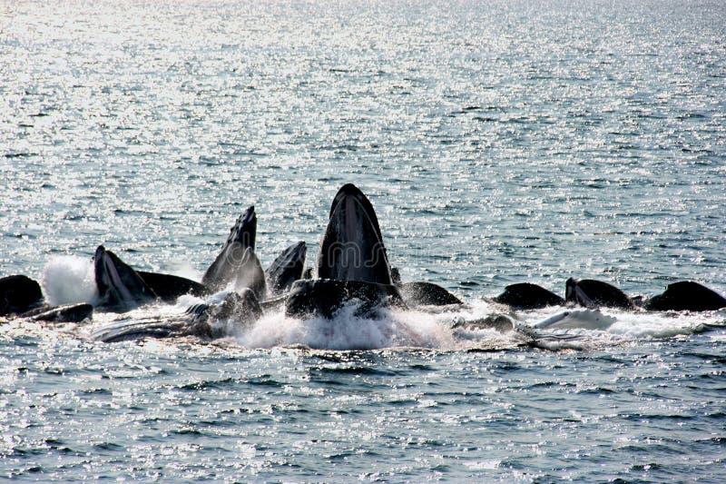 Alimentação da bolha-rede das baleias de Humpback fotos de stock royalty free