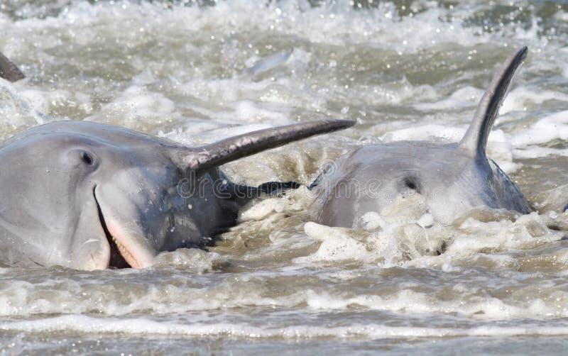 Alimentação da costa do golfinho foto de stock