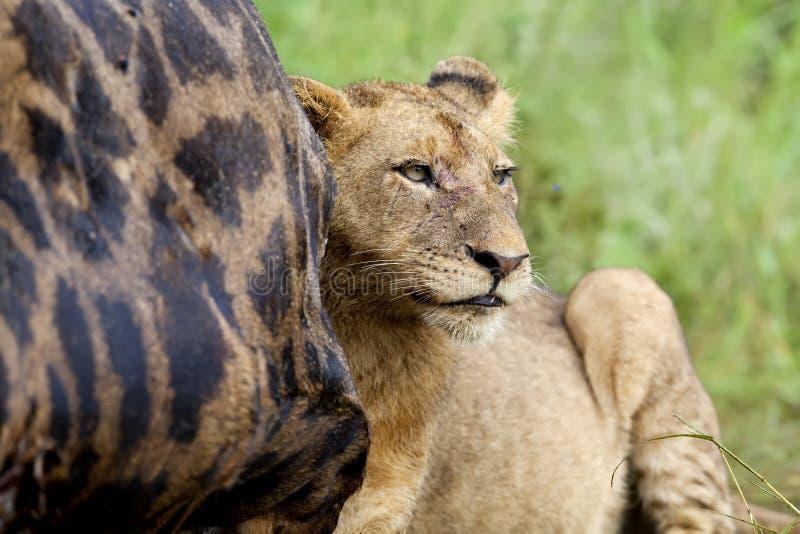 Alimentação da leoa fotografia de stock