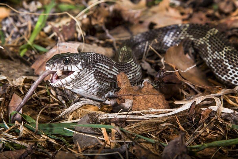 Alimentação da serpente de rato preto imagem de stock