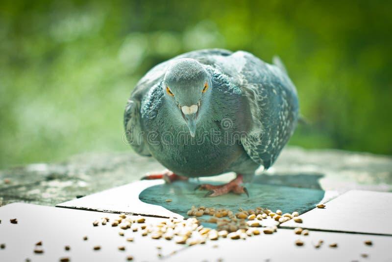 Alimentação de Gray Dove foto de stock