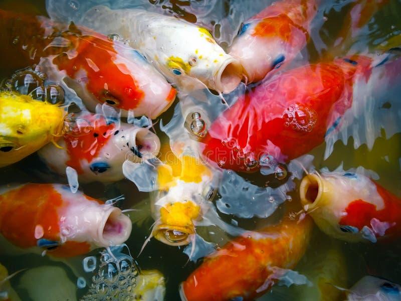 Alimentação de Koi Fish imagens de stock royalty free