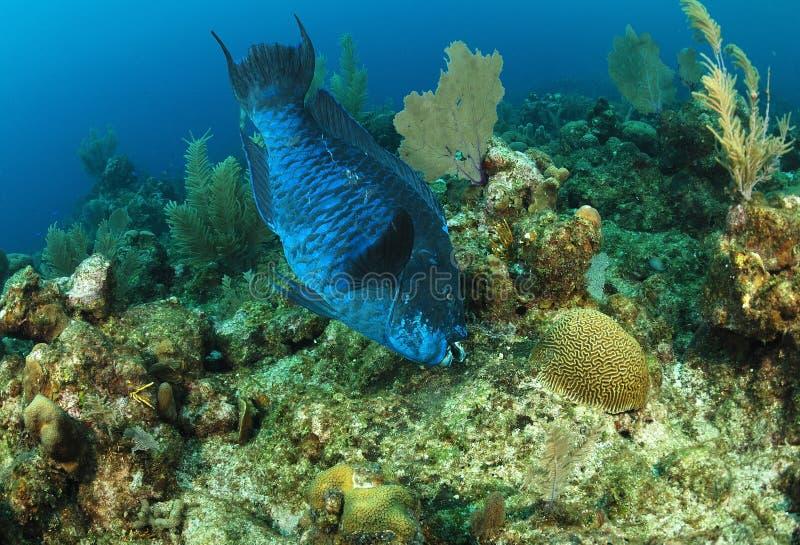 Alimentação de peixes da meia-noite do papagaio imagem de stock