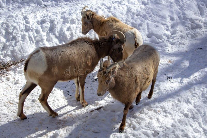 Alimentação de Rocky Mountain Bighorn Sheep imagens de stock royalty free