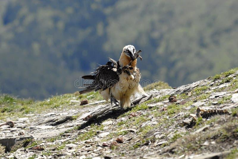 Alimentação do abutre do SCAVENGER fotografia de stock royalty free