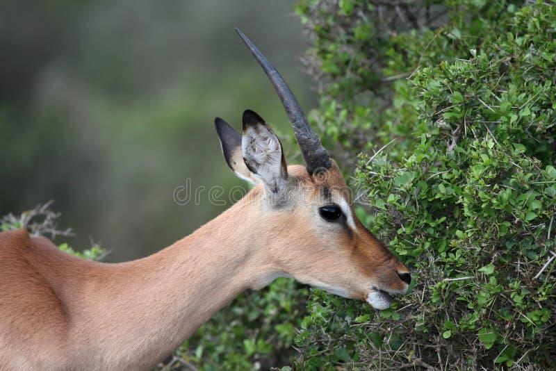 Alimentação do antílope do Impala fotos de stock royalty free