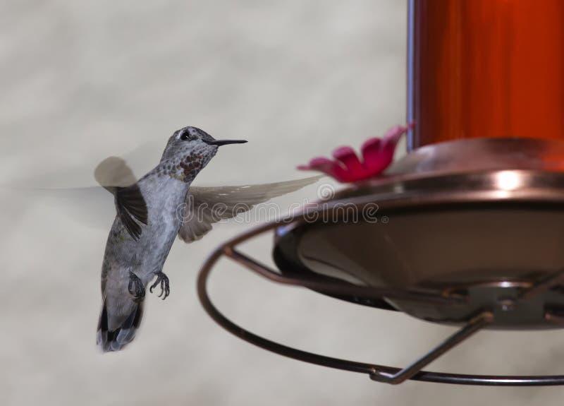 Alimentação do colibri fotografia de stock royalty free
