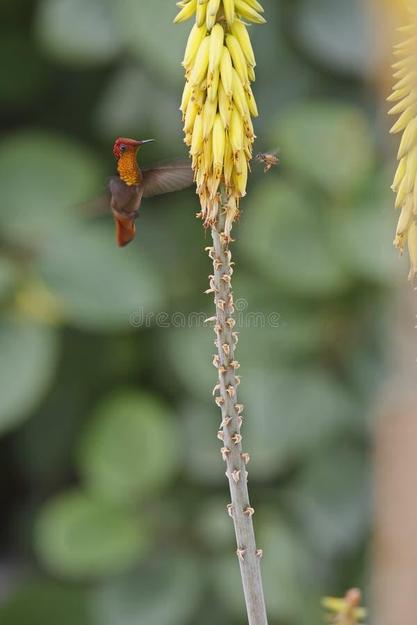 alimentação do colibri do Rubi-topaz imagem de stock