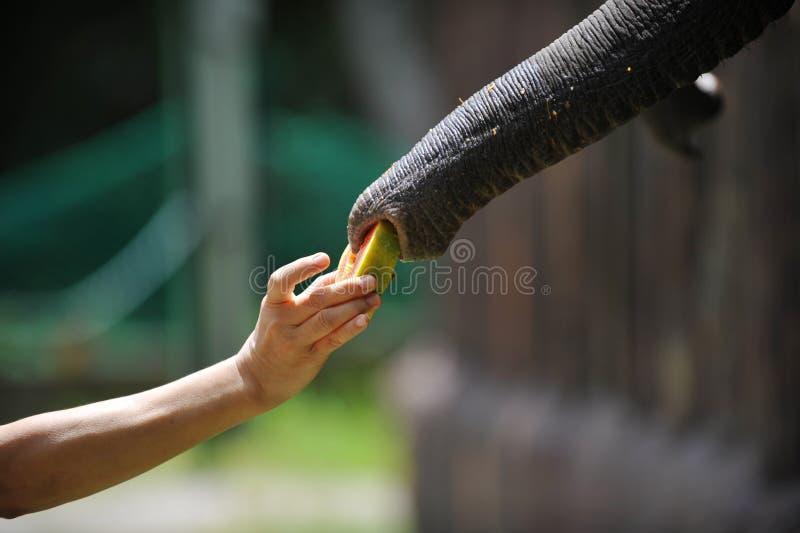 Alimentação do elefante fotos de stock
