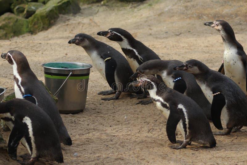 Alimentação do grupo do pinguim de Humbolt fotografia de stock royalty free