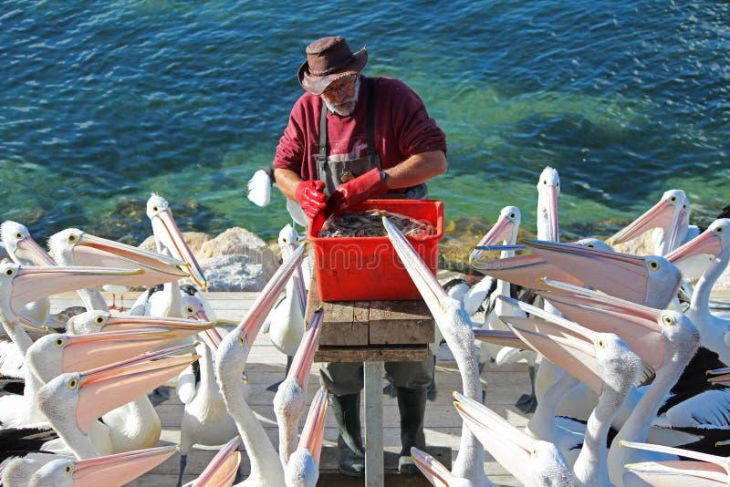 Alimentação do pelicano foto de stock royalty free