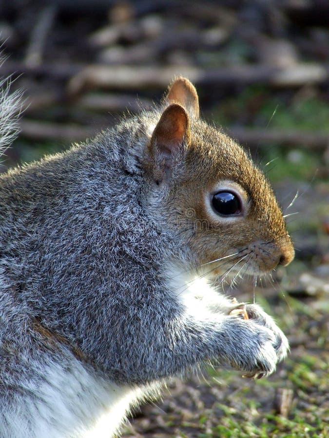 Alimentação do retrato do lado de Grey Squirrel imagens de stock royalty free