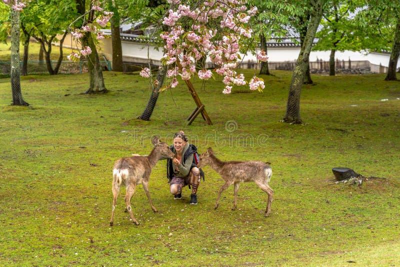 Alimentação dos cervos de Nara fotografia de stock