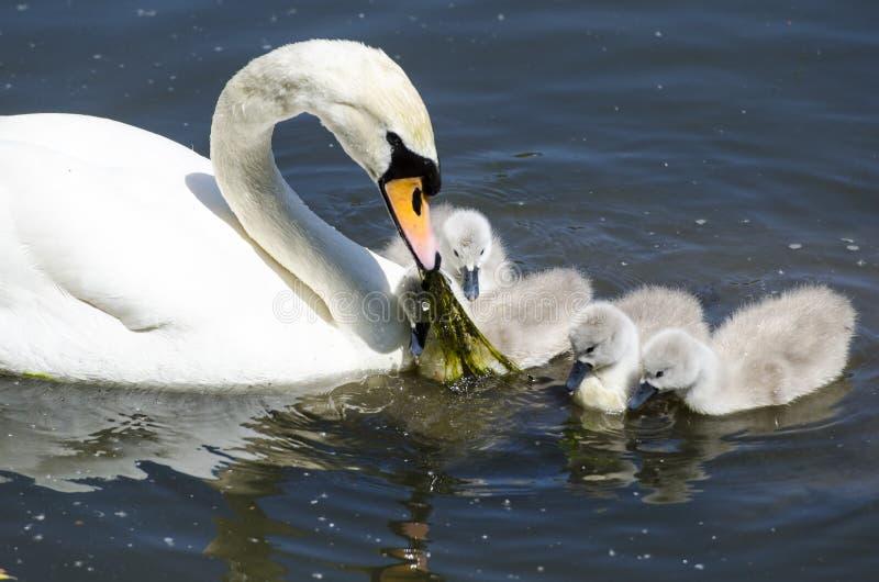 Alimentação dos cisnes novos fotografia de stock