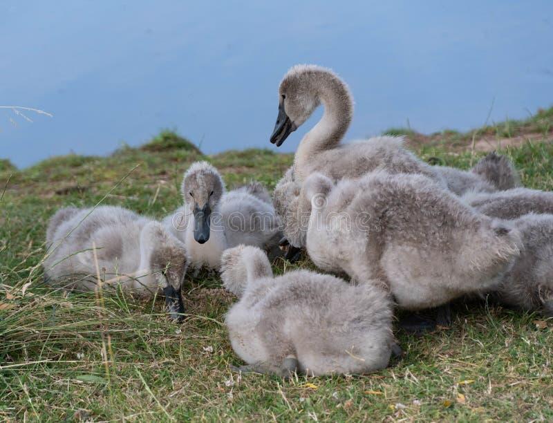 Alimentação dos cisnes novos da cisne imagem de stock royalty free