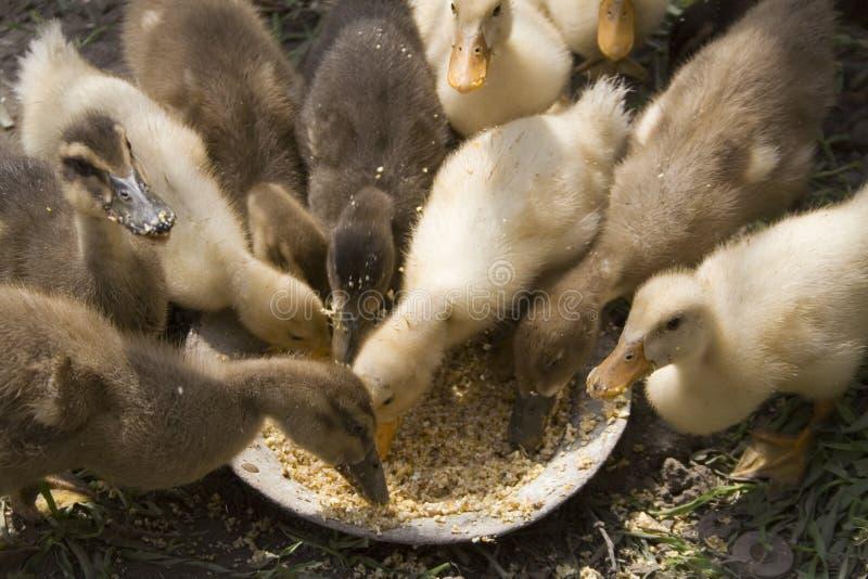 Alimentação pequena dos patos fotos de stock royalty free