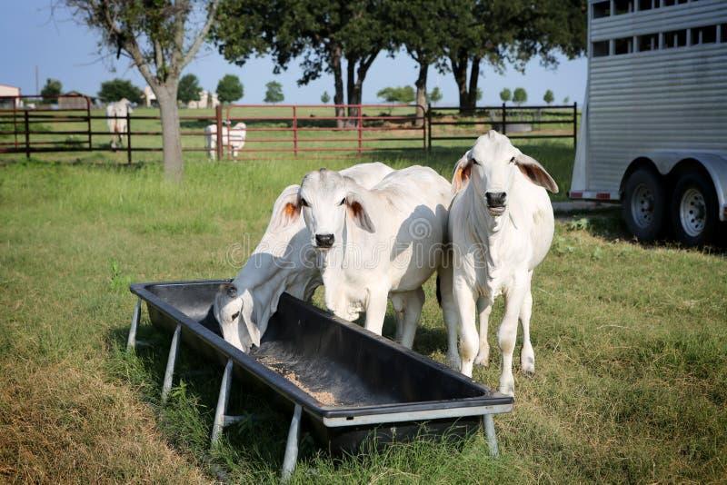 Alimentação suplementar do gado foto de stock