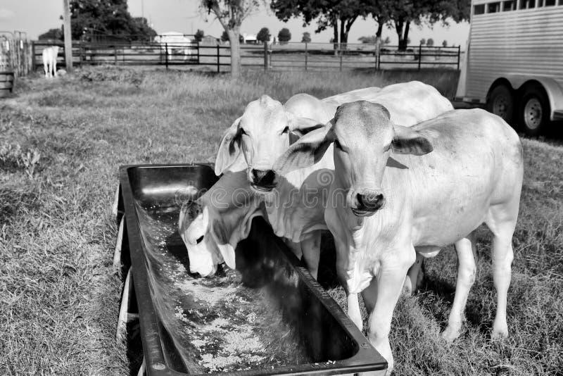 Alimentação suplementar do gado imagem de stock