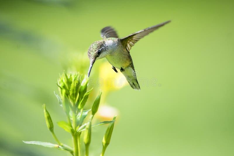 Alimentações do colibri em um botão da prímula de noite imagens de stock