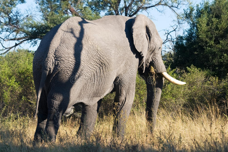 Alimentações do elefante na grama imagem de stock