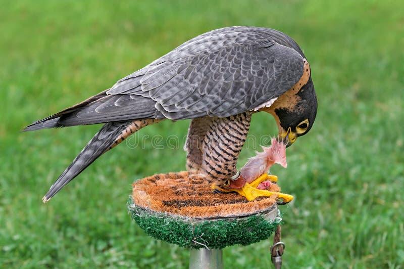 Alimentações do falcão do peregrino na vara fotografia de stock