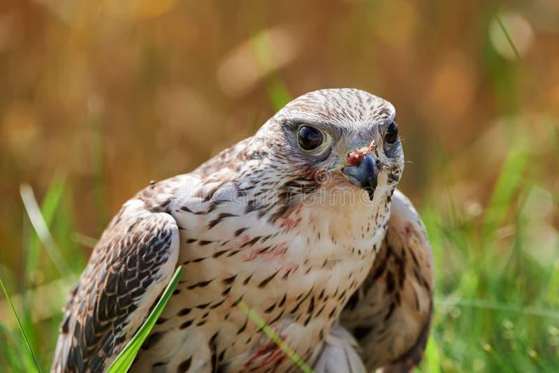 Alimentações do falcão na carne do pássaro capturado imagem de stock