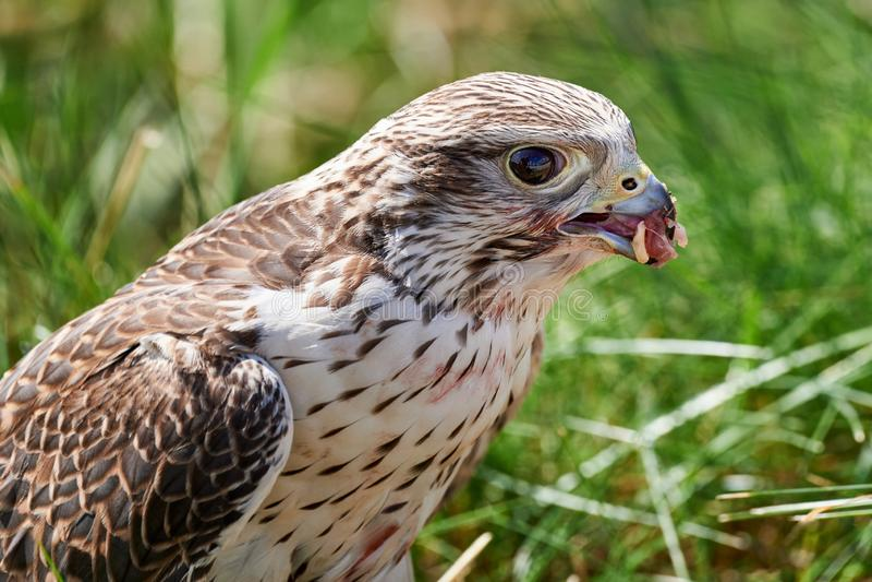 Alimentações do falcão na carne do pássaro capturado foto de stock