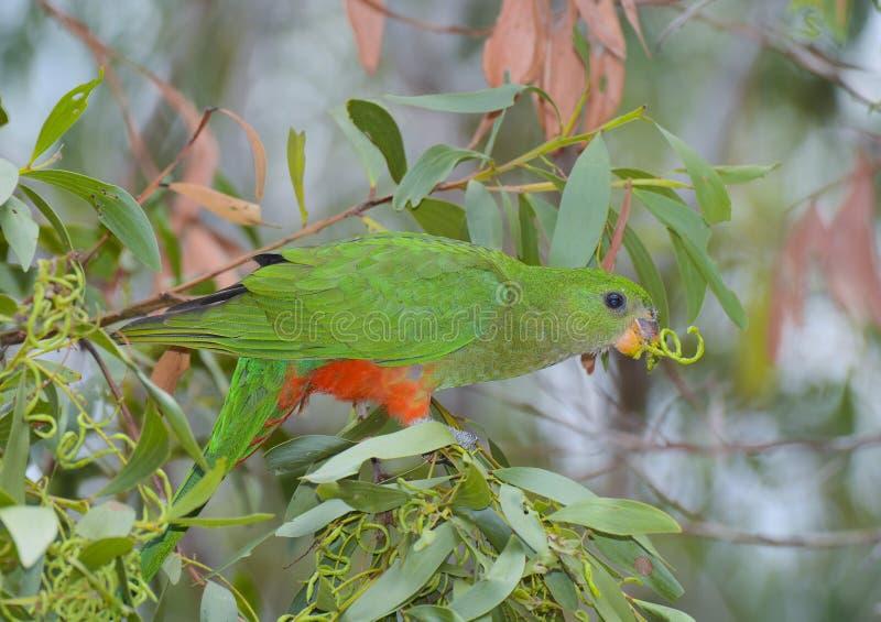 Alimentações fêmeas do papagaio do rei imagens de stock royalty free